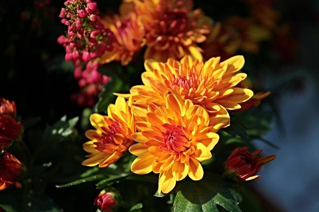 Oranžové chryzantémy.jpg