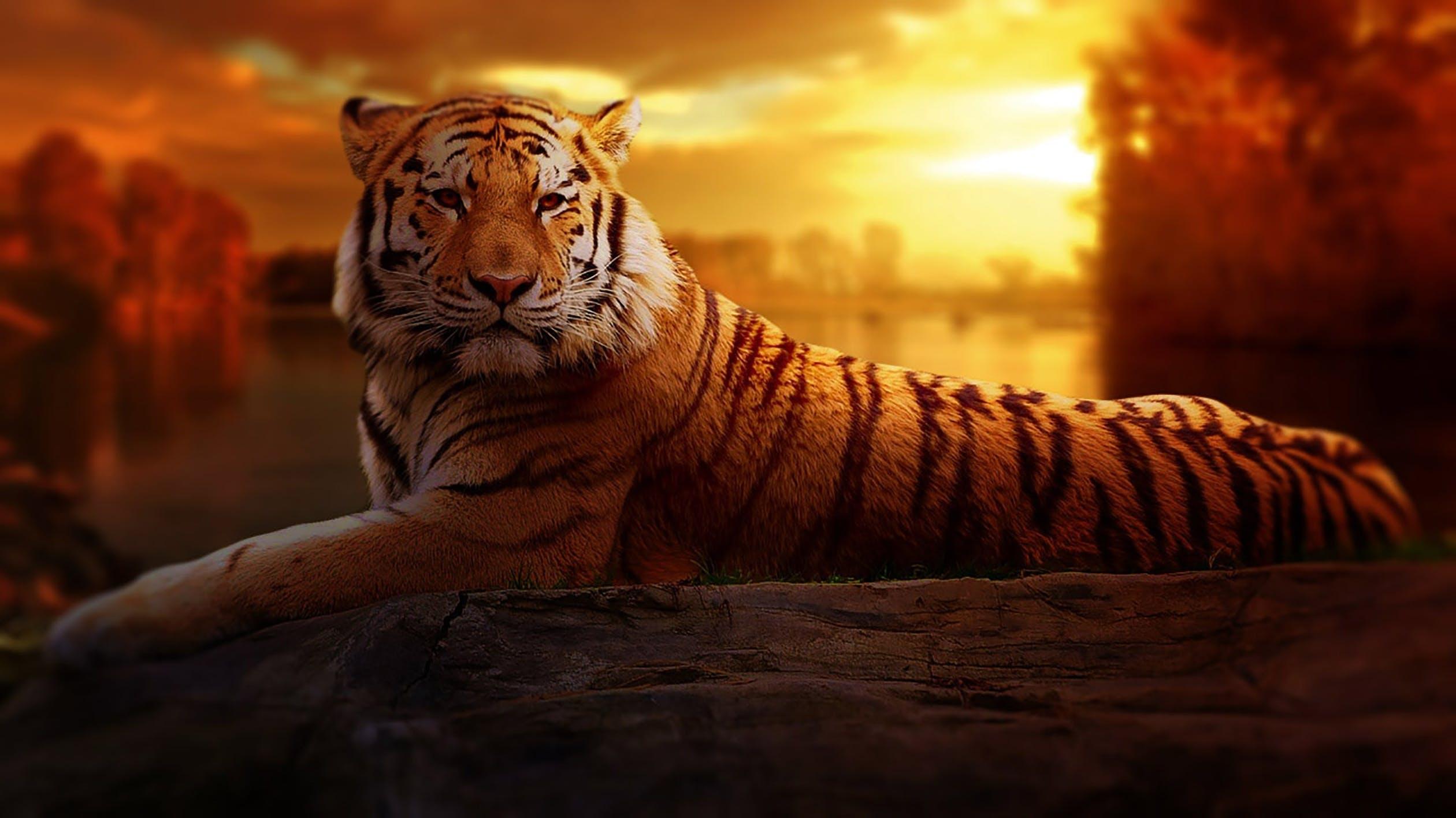 ležící tygr při soumraku