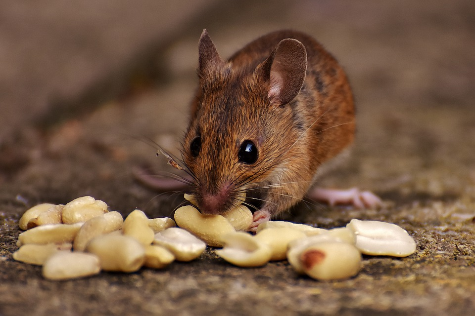 myš si pochutnává na arašídech